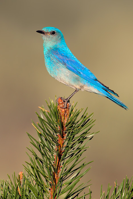 6365_Mountain_Bluebird_07-07-2010_1