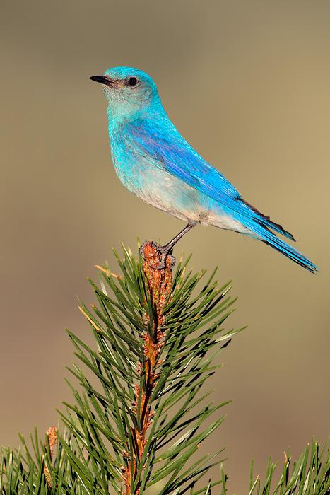 6365_Mountain_Bluebird_07-07-2010_1