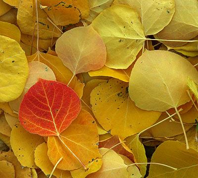 JSwanson-Fall-Aspen-Leaves