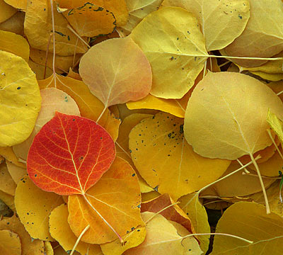 JSwanson-Fall-Aspen-Leaves
